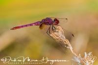 purperlibel_violet_dropwing_trithemis_annulata_1_20141219_1709547307
