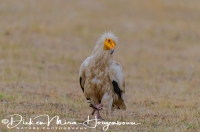 aasgier_egyptian_vulture_neophron_percnopterus_20141219_1990810609