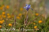 wilde_iris_irish_iridaceae1_20141219_1679080744