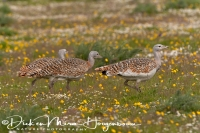 grote_trap_great_bustard_otis_tarda_8_20141219_1822599400