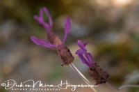 knoopkruid_brown_knapweed_centaurea_jacea_20141219_1108564105
