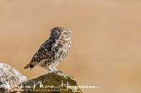 steenuil_little_owl_athene_noctua_20141219_1583367680