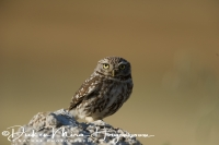 steenuil_little_owl_athene_noctua_20141219_1184313268