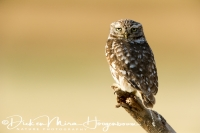 steenuil_little_owl_athene_noctua_1_20141219_1589002577