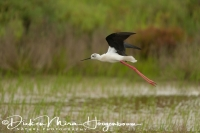 steltkluut_black-winged_stilt_himantopus_himantopus_1_20141219_1786928677