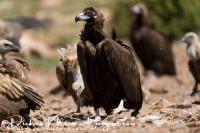 monniksgier_monk_vulture_aegypius_monachus_1_20141219_1854952257