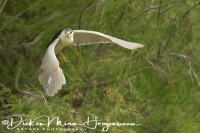 kwak_night_heron_nycticorax_nycticorax_20141219_1639944227