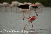 flamingo_greater_flamingo_phoenicopterus_ruber_1_20141219_1686827164