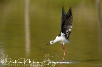 steltkluut_black-winged_stilt_himantopus_himantopus_4_20141219_1522299054