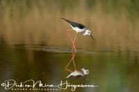 steltkluut_black-winged_stilt_himantopus_himantopus_2_20141219_1073740272