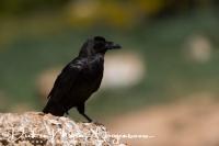 raaf_common_raven_corvus_corax_20141219_1825472148