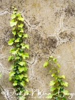 hedera_op_muur_hedera_sp_on_wall_20141219_2025258436