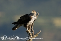 havikarend_bonellis_eagle_hieraaetus_fasciatus_20141219_1890025895