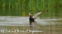 krooneend_red-crested_pochard_netta_rufina_1_20141219_1204471652