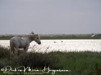 camargue_wild_paard_camargue_wild_horse__20141219_1435948262
