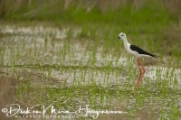 steltkluut_black-winged_stilt_himantopus_himantopus_20141219_1987889257