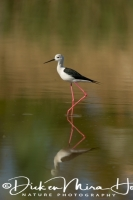 steltkluut_black-winged_stilt_himantopus_himantopus_3_20141219_1288342902