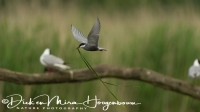 witwangstern_whiskered_tern_chlidonias_hybridus_1_20141219_1240360731