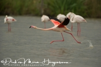 flamingo_greater_flamingo_phoenicopterus_ruber_4_20141219_1705119291