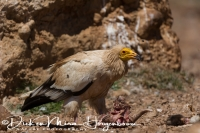 aasgier_egyptian_vulture_neophron_percnopterus_20141219_1864202699