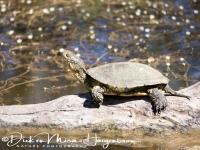 europese_moerasschildpad_european_pond_turtle_emys_orbicularis_20141219_2084193089