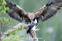 steenarend_-_golden_eagle_-_aquila_chrysaetos_on_black_grouse_-_tetrao_tetrix__20150112_1644230258