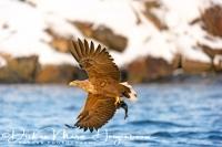 zeearend_-_white-tailed_eagle_-_haliaeetus_albicilla_with_catch_20150112_1251400104