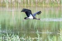 zwarte_ooievaar_-_black_stork_-_ciconia_nigra__20150112_1376068510