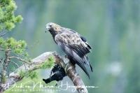 steenarend_-_golden_eagle_-_aquila_chrysaetos_on_black_grouse_-_tetrao_tetrix_20150112_1862860511