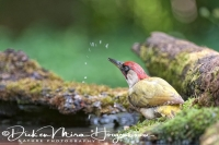 groene_specht_-_green_woodpecker_-_picus_viridis__20150112_2021958930