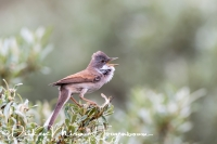 grasmus_-_common_whitethroat_-_sylvia_communis_20150112_1470029642