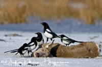 ekster_-_magpie_-_pica_pica_20150112_1962100034