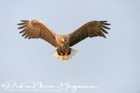 zeearend_-_white-tailed_eagle_-_haliaeetus_albicilla_praying_20150112_1668928452