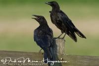 kraai_-_carrion_crow_-_corvus_corone_20150112_2003890936