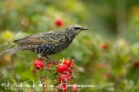 spreeuw_-_common_starling_-_sturnus_vulgaris__20150112_1214150279