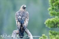 steenarend_-_golden_eagle_-_aquila_chrysaetos_portrait_20150112_1649875637