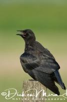 kraai_-_carrion_crow_-_corvus_corone__20150112_1571970677