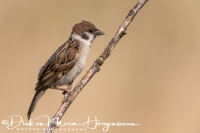 ringmus_-_tree_sparrow_-_passer_montanus_20150112_1793593880