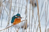 ijsvogel_-_common_kingfisher_-_alcedo_atthis_20150112_1545684039