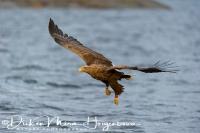 zeearend_-_white-tailed_eagle_-_haliaeetus_albicilla_in_flight_20150112_1290179914