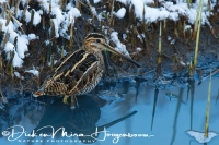 watersnip_-_common_snipe_-_gallinago_gallinago_20150112_1497178158