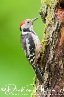 middelste_bonte_specht_-middle_spotted_woodpecker_-_dendrocopos_medius_20150112_1128560409