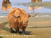 schotse_hooglander_highland_cattle_20141220_1561038439