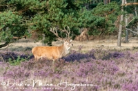 edelhert_red_deer_cervus_elaphus1_20141220_1648279415