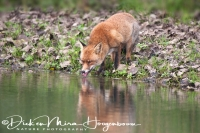 vos_red_fox_vulpes_vulpes_1_20141220_1828826805