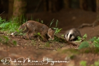 jonge_vos_-_young_red_fox_-_vulpes_vulpes_and_das_-_european_badger_-_meles_meles_20150625_1758121601