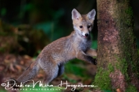 jonge_vos_-_young_red_fox_-_vulpes_vulpes_20150625_1518488554