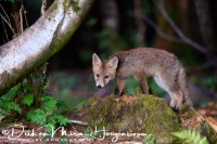 jonge_vos_-_young_red_fox_-_vulpes_vulpes_20150625_1207218028