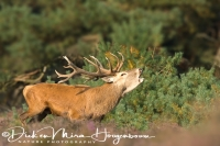 edelhert_red_deer_cervus_elaphus_2_20141220_1370983577