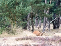 edelhert_red_deer_cervus_elaphus_20141220_1454668468